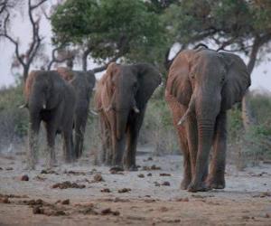 African elephants puzzle