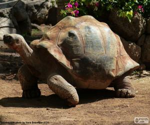 African spurred tortoise puzzle