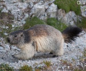 Alpine Marmot puzzle