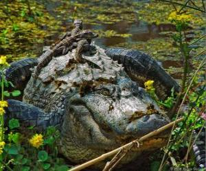 American alligator, one of the largest crocodile in the Americas, a protected species in the U.S. puzzle