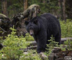 American black bear puzzle
