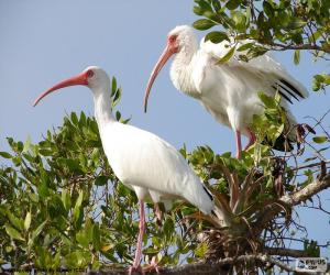 American white ibis puzzle