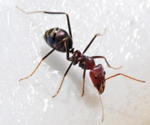 Ant, an insect that exists practically anywhere in the world puzzle