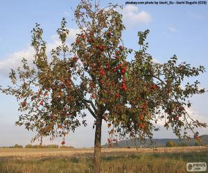 Apple trees puzzle