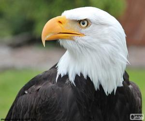 Bald Eagle head puzzle