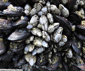 Barnacles and mussels puzzle
