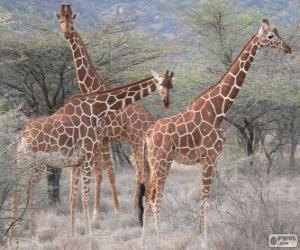 Beautiful giraffes puzzle