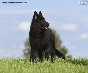 Belgian shepherd groenendael puppy puzzle