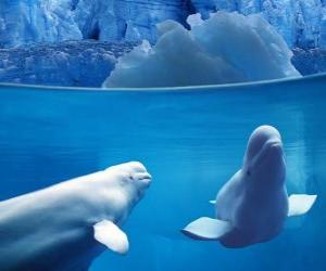 Beluga whale is a species of toothed Monodontidae family living in the Arctic and subarctic. puzzle