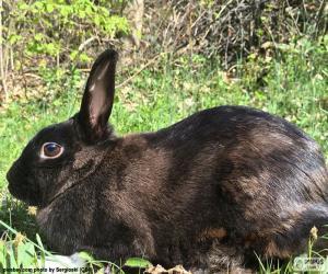 Black rabbit puzzle