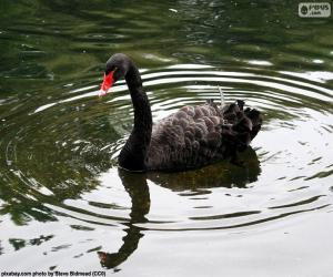 Black swan puzzle