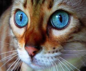 blue eyes cat puzzle