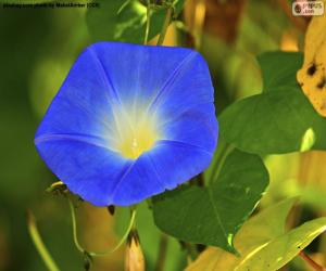 Blue morning glory puzzle