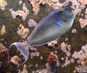 Bluespine unicornfish puzzle