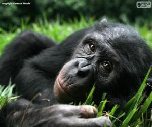 Bonobo or Pygmy Chimpanzee puzzle