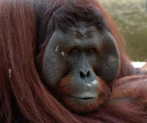 Bornean orangutan puzzle