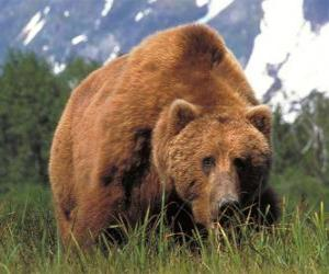 Brown bear - Grizzly puzzle