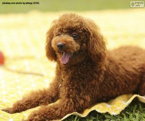 Brown poodle puzzle