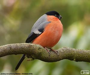 Bullfinch male puzzle