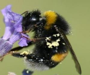 Bumblebee, a robust and hairy insect puzzle