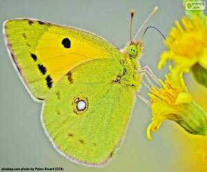 Butterfly lime puzzle