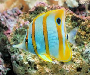 Butterflyfish puzzle