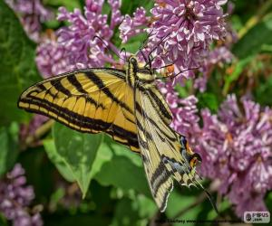 Canadian Tiger Swallowtail butterfly puzzle