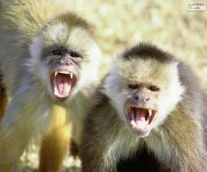 Capuchin monkeys puzzle