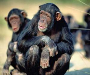Chimpanzee sitting on the floor puzzle
