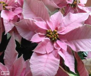 Christmas flower, pink puzzle