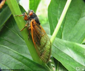 Cicada puzzle
