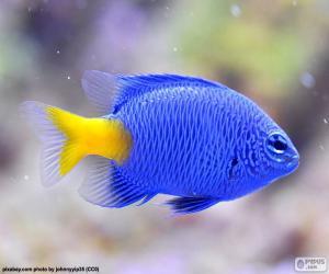Clownfish blue puzzle