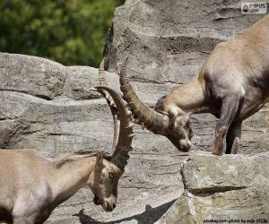 Combat between two Alpine ibex puzzle