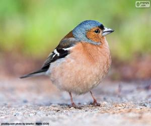 Common chaffinch puzzle