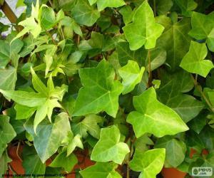Common Ivy puzzle
