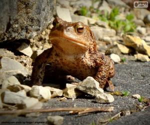 Common toad puzzle