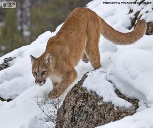 Cougar, mountain lion walking puzzle