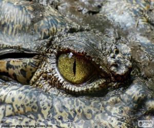 Crocodile eye puzzle