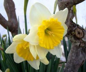 Daffodils puzzle