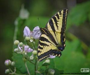 Eastern tiger swallowtail, butterfly native to eastern North America puzzle