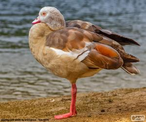 Egypt goose puzzle