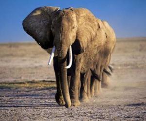 Elephants walking in row puzzle