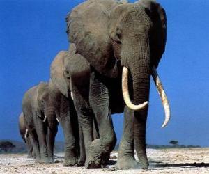 Elephants walking puzzle