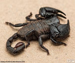 Emperor scorpion puzzle