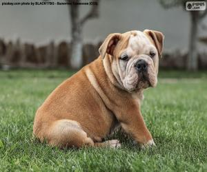 English Bulldog Puppy puzzle