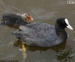 Eurasian coot puzzle