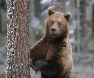 European brown bear in foot resting on a tree puzzle