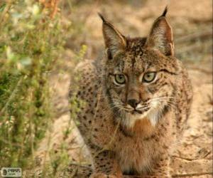 European Lynx puzzle