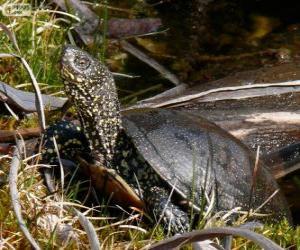 European pond turtle puzzle