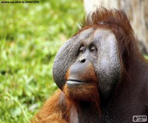 Face of a male Orangutan puzzle